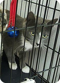 Domestic Shorthair Cat for adoption in Livingston, Texas - Twilight
