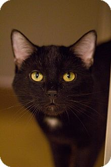 Domestic Shorthair Cat for adoption in Grayslake, Illinois - Groundhog