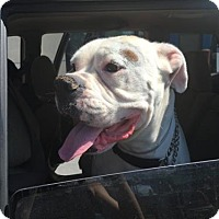 Boxer Dog for adoption in Fremont, California - Lucky II