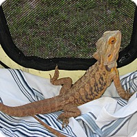 Lizard for adoption in Christmas, Florida - Gordon & Friends (9) :o)