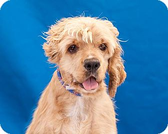 Cocker Spaniel Mix Dog for adoption in Los Angeles, California - DANNIE