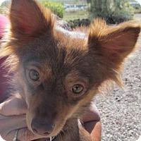 Adopt A Pet :: Corri - Silver City, NM