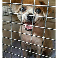 Shih Tzu Mix Dog for adoption in Oakton, Virginia - Pure