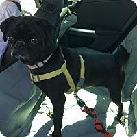 Pug Dog for adoption in Gardena, California - Otto