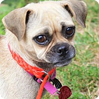 Pug Mix Dog for adoption in Parker Ford, Pennsylvania - Myrcella & Gilly