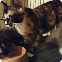Domestic Shorthair Cat for adoption in Bolingbrook, Illinois - CANDI