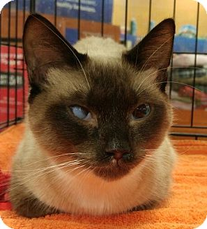Snowshoe Cat for adoption in Powder Springs, Georgia - PIPER