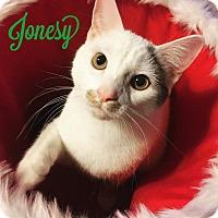 Domestic Shorthair Kitten for adoption in Columbus, Ohio - Jonesy