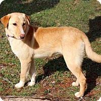Adopt A Pet :: PUPPY AMARETTO - Washington, DC