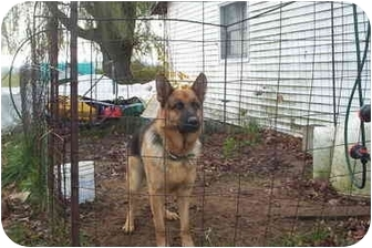 German Shepherd Dog Dog for adoption in Chase, Michigan - Thor