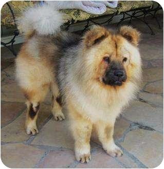 Peluchi | Adopted Dog | Sacramento, CA | Chow Chow ...
