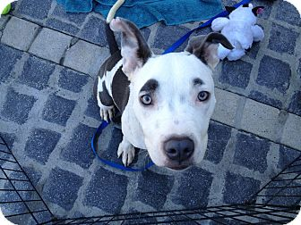 American Pit Bull Terrier Mix Puppy for adoption in Los Angeles, California - Groucho