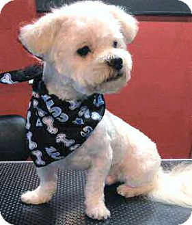 Maltese/Shih Tzu Mix Puppy for adoption in Mooy, Alabama - Albert