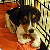 Adopt A Pet :: Star - Novi, MI
