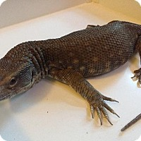 Adopt A Pet :: Savannah Monitor - Lake Forest, CA