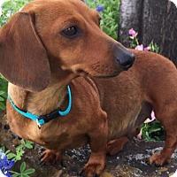 Adopt A Pet :: Evie - Humble, TX