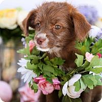 Adopt A Pet :: Chloe - Auburn, CA