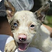 Adopt A Pet :: Skylar - Boston, MA