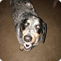 Basset Hound/Cattle Dog Mix Dog for adoption in Hinton, Oklahoma - Josie