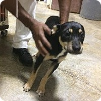 Adopt A Pet :: Andie - Shepard pup - Laingsburg, MI