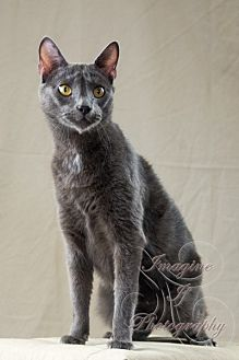 Domestic Shorthair Cat for adoption in Crescent, Oklahoma - Poo Bear