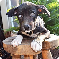 Adopt A Pet :: Raleigh (City Slickers) - Mooresville, NC