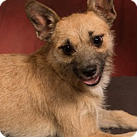 Adopt A Pet :: Tara Wire Hair Terrier - St. Louis, MO