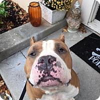 Adopt A Pet :: Bones - Voorhees, NJ