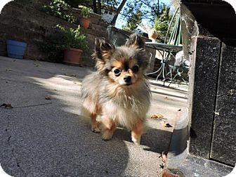 Chihuahua Dog for adoption in Omaha, Nebraska - Koko