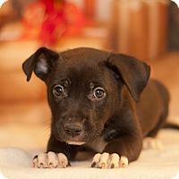 Adopt A Pet :: Jelly Bean - Las Vegas, NV