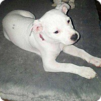 Rat Terrier/Pit Bull Terrier Mix Puppy for adoption in Allen, Texas - Everest