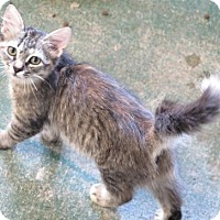 Domestic Longhair Kitten for adoption in Gonzales, Texas - Wispurrs