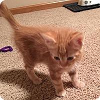 Adopt A Pet :: Indigo C1594 - Shakopee, MN