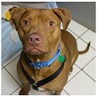 Adopt A Pet :: Dakota - Forked River, NJ