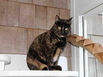 Domestic Mediumhair Cat for adoption in Hampton Bays, New York - CALLIE