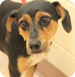 Beagle Mix Dog for adoption in Lebanon, Maine - Raigen-URGENT in GA