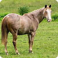 Quarterhorse/Grade Mix for adoption in Saugerties, New York - Julius