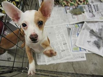 Terrier (Unknown Type, Medium)/Chihuahua Mix Puppy for adoption in Fresno, California - Clark
