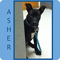 Adopt A Pet :: ASHER~BASIC OBEDIENCE TRAINED - Dallas, NC