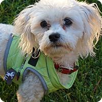 Adopt A Pet :: Louie - Cotati, CA