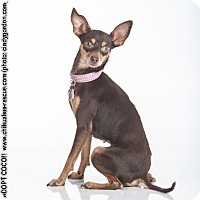 Adopt A Pet :: CoCo - Dallas, TX