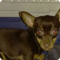 Chihuahua Mix Puppy for adoption in Coral Springs, Florida - Joni