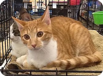 Domestic Shorthair Cat for adoption in San Antonio, Texas - James