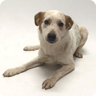 Australian Shepherd Mix Dog for adoption in Show Low, Arizona - Rocko