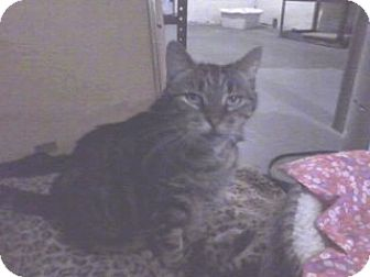 Domestic Shorthair Cat for adoption in Lebanon, New Jersey - Mimi