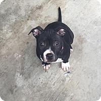 Adopt A Pet :: Macy - El Segundo, CA