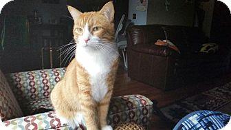 Domestic Shorthair Cat for adoption in Anchorage, Alaska - Bo