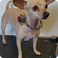 Chihuahua Dog for adoption in Yucaipa, California - Emily