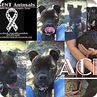 Adopt A Pet :: Ace - Hearne, TX
