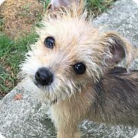 Adopt A Pet :: Misty - Beavercreek, OH